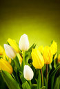 Yellow and white  tulip Stock Photos