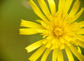 Yellow wild flower close up nature Stock Photo
