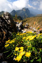 Yellow wild flower on top of mountain in Northern India Royalty Free Stock Photo