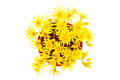 Yellow wild flowers isolated on white background close up Royalty Free Stock Photos