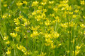Yellow wild flowers small close up Royalty Free Stock Photography
