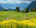 Yellow wild flowers on summer mountain slope alps switzerland Royalty Free Stock Images