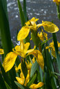 Yellow wild iris Royalty Free Stock Photo