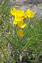 Yellow wild tulip Royalty Free Stock Images