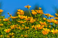 Yellow Wildflower Aster Field Stock Photos