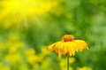 Yellow wildflower bloom in the garden Royalty Free Stock Photo