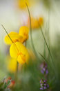 Yellow wildflower Royalty Free Stock Photo