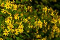 Yellow Wildflowers - Spring Blooms - Dolly Sods - West Virginia Royalty Free Stock Photo