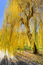 Yellow willow tree in sun rays in fall in the park Stock Images
