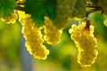 Yellow wine grape ripe in the vineyard in autumn Royalty Free Stock Photography