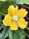 Yellow winter melon flower Royalty Free Stock Photo