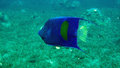 Yellowbar Angelfish,Pomacanthus maculosus Stock Photo