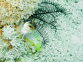 Yellowbarred Jawfish Stock Photography