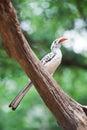 Yellowbilled Hornbill Royalty Free Stock Photography