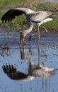 Yellowbilled Stork - Okavango Delta - Botswana Royalty Free Stock Photo