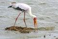 Yellowbilled stork seeking prey in water amongst drifting debri Royalty Free Stock Image