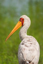 Yellowbilled stork walking in green grass looking back nature Royalty Free Stock Images