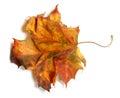 Yellowed autumn maple leaf on white background isolated Stock Photography