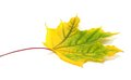 Yellowed autumn maple leaf on white background selective focus Stock Images