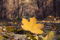 Yellowed maple leaf on the forest path Royalty Free Stock Photo