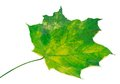 Yellowed maple leaf selective focus isolated on white background Stock Photo