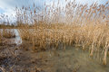 Yellowed reeds on the bank of a river shore dutch cloudy day at end winter period Royalty Free Stock Photo