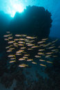 Yellowfin goatfish (mulloidichthys vanicolensis) in the Red Sea. Royalty Free Stock Photos
