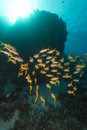 Yellowfin goatfish (mulloidichthys vanicolensis) in the Red Sea. Stock Photo