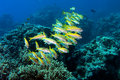 Yellowfin goatfishes (mulloides vanicolensis) Royalty Free Stock Photos