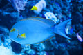 Yellowfin Surgeon Fish Royalty Free Stock Photo