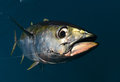 Yellowfin tuna with hook in its mouth a fish a from fishing Royalty Free Stock Photography