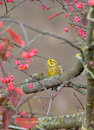 Yellowhammer Photo stock