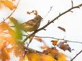 Yellowhammer in autumn colors a bird emberiza citrinella perches on a branch surrounded by orange and yellow colored leaves Royalty Free Stock Photography