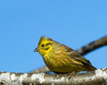 Yellowhammer (Emberiza citrinella) Stock Images