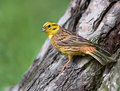 Yellowhammer the emberiza citrinella is a passerine bird in the bunting family emberizidae it is common in all sorts of open areas Royalty Free Stock Photography