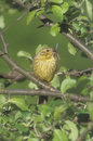Yellowhammer emberiza citrinella single bird on branch west midlands Stock Image