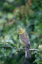 Yellowhammer emberiza citrinella single female on branch warwickshire june Stock Photos