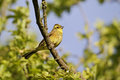 Yellowhammer emberiza citrinella single male bird on branch midlands may Stock Photography