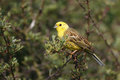 Yellowhammer emberiza citrinella single male on branch warwickshire june Stock Photography