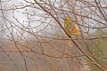 Yellowhammer emberiza citrinella sitting on the birch Stock Photos