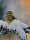 Yellowhammer male in winter a on a wintry branch central sweden Stock Photo