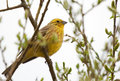 Yellowhammer que senta se no ramo da mola Fotos de Stock Royalty Free