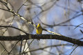 Yellowhammer sitting on a tree branch in the forest Royalty Free Stock Images