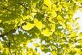 Yellowish green ginkgo leaves closeup of in fall Stock Photo