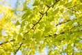 Yellowish green ginkgo leaves closeup of in fall Stock Images