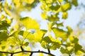 Yellowish green ginkgo leaves closeup of in fall Stock Image