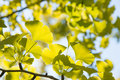 Yellowish green ginkgo leaves closeup of in fall Royalty Free Stock Photos