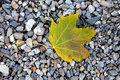 Yellowish maple leaf on ground a lies small rocks the Royalty Free Stock Image