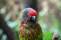 Yellowish streaked lory a portrait of a Stock Photo