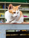 Yellowish white cat library Royalty Free Stock Photo